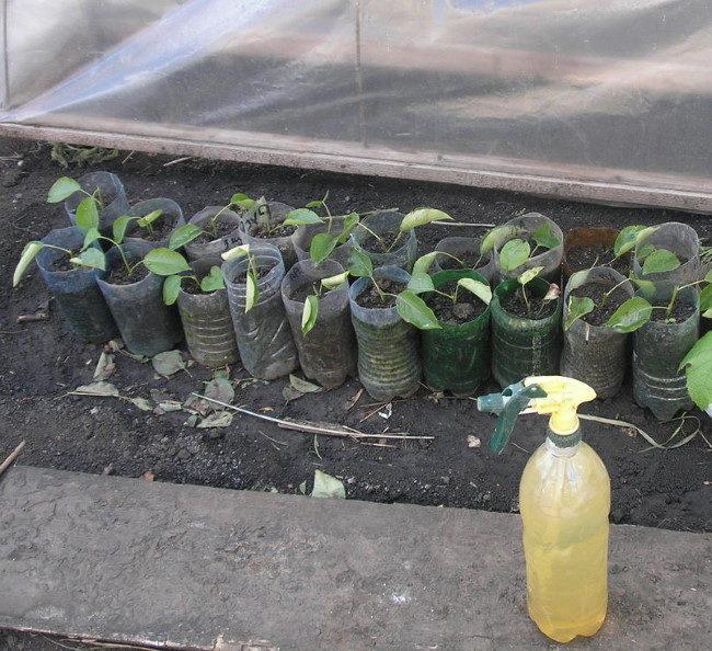 Укоренившиеся черенки вишни в обрезанных пластиковых бутылках