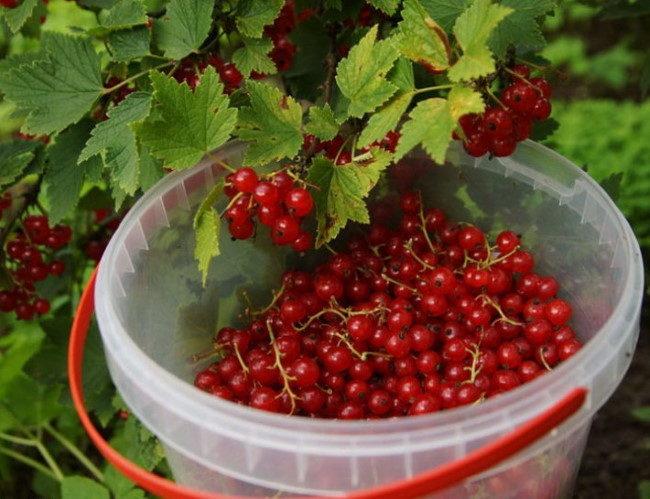 Пластиковая емкость с красными ягодами смородины под взрослым кустом