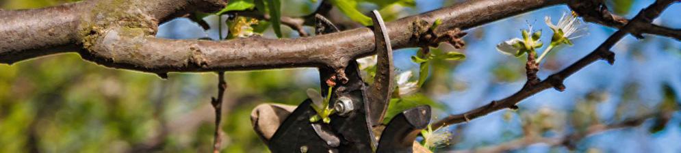 Весенняя обрезка дерева острым секатором