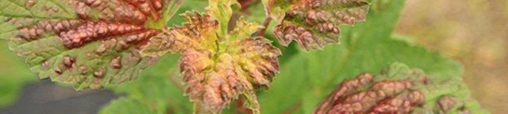 Пятнистая выпуклость листьев на смородине вблизи