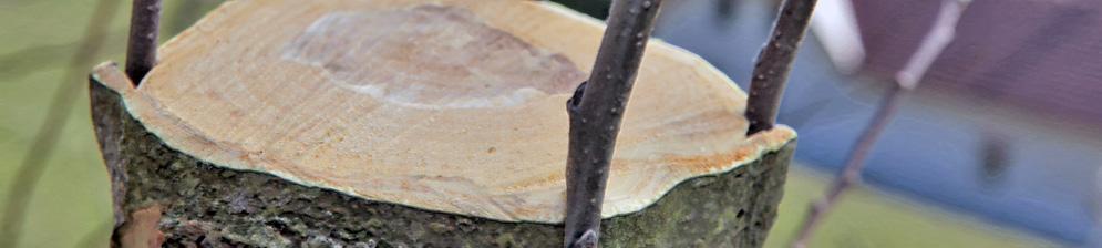 Вишнёвый пенёк с порослью вблизи 4 отростка