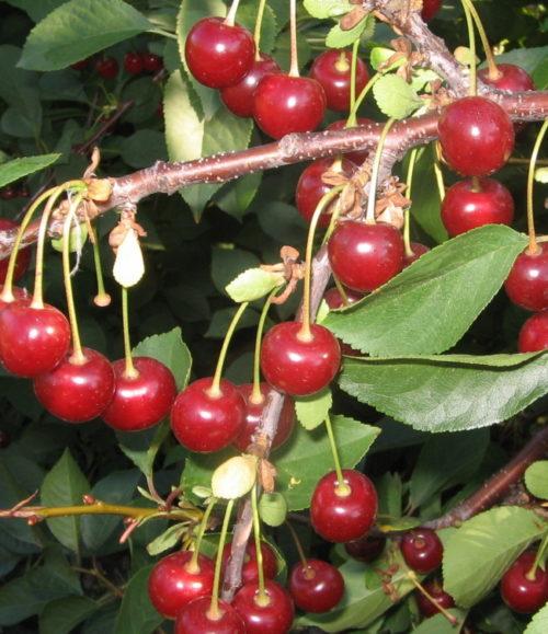 Созревание ягод на ветках самоплодной вишни сорта Апухтинская