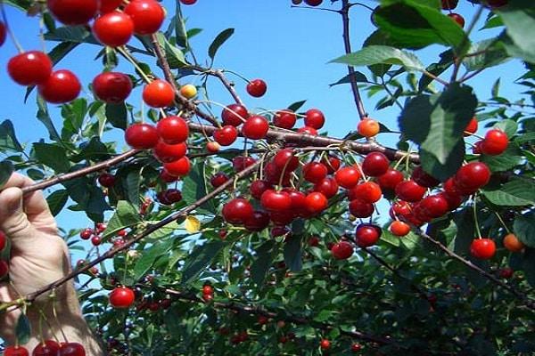 Созревание ягод на ветках взрослого дерева вишни сорта Булатниковская