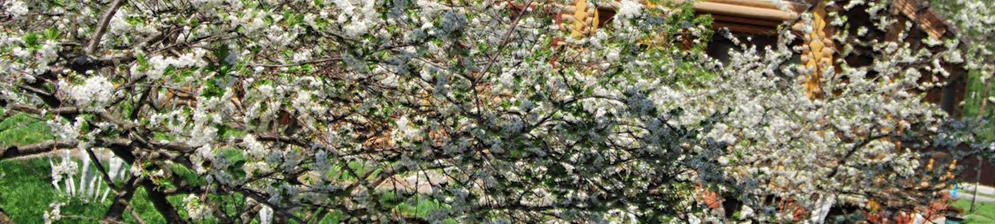 Несколько деревьев разных сортов цветут на дачном участке