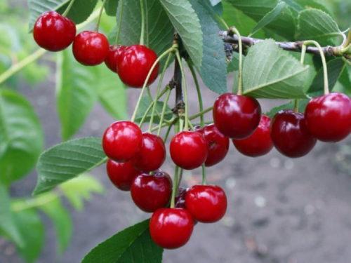 Розово-красные плоды гибридной вишни сорта Молодежная