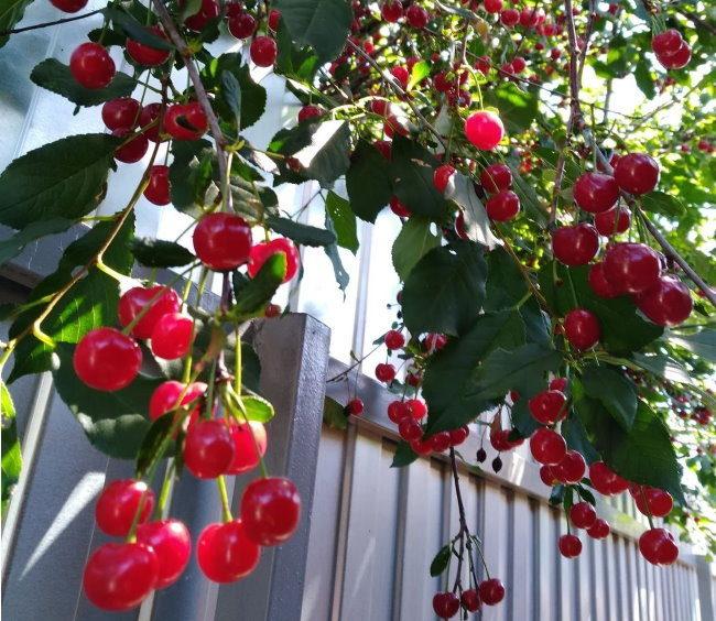Созревание плодов вишни на высоком дереве возле забора из профлиста
