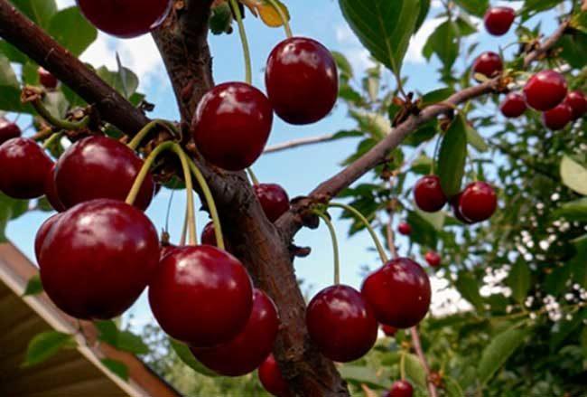 Темно-красные ягоды на ветке вишни сорта Шимская на загородном участке Ленинградской области