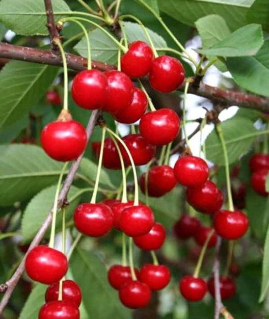 Красно-розовые плоды селекционной вишни сорта Звездочка