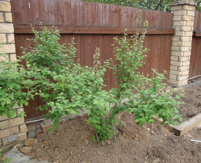Куст войлочной вишни на хорошей почве возле забора с кирпичными столбами