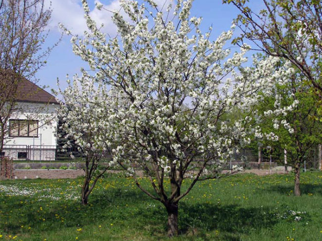 Обильное цветение высокорослой вишни сорта Памяти Ворончихиной