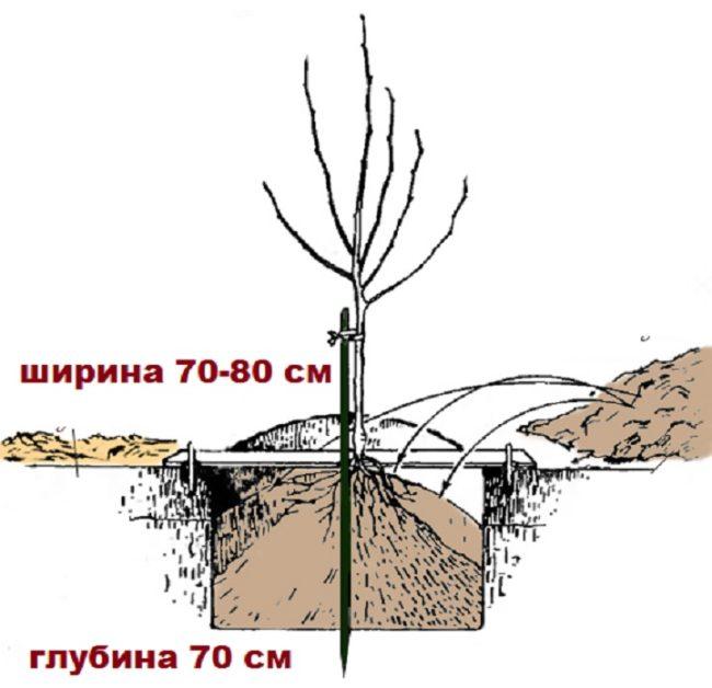 Схема посадочной ямы для двухлетнего вишневого саженца с основными размерами