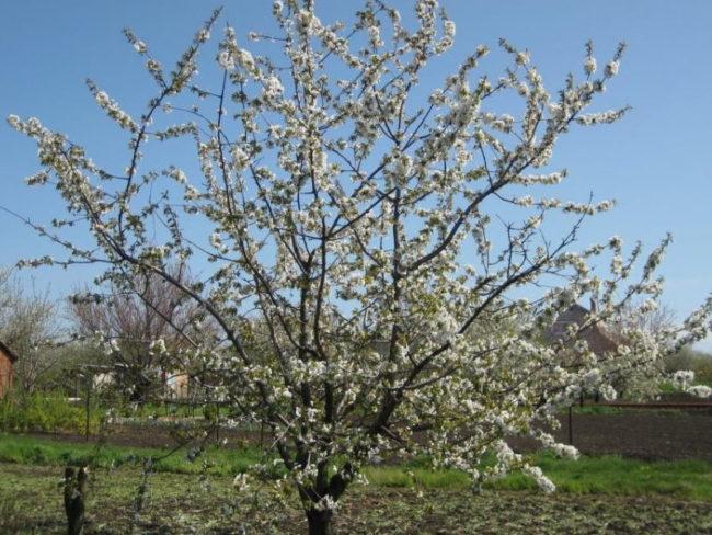 Цветение вишневого деревца на территории загородного участка