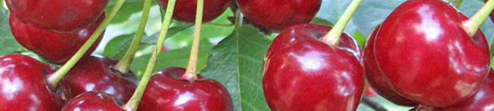 Сорт вишни Заранка вблизи плоды созреют