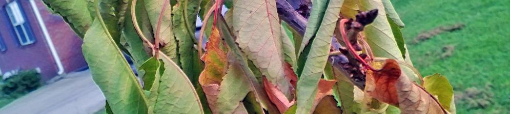 Засыхает листва на ветке вишни кончики уже сухие