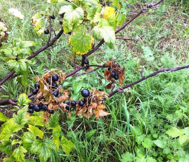 Внешние признаки появления стеклянницы на смородине в виде усыхающих листьев