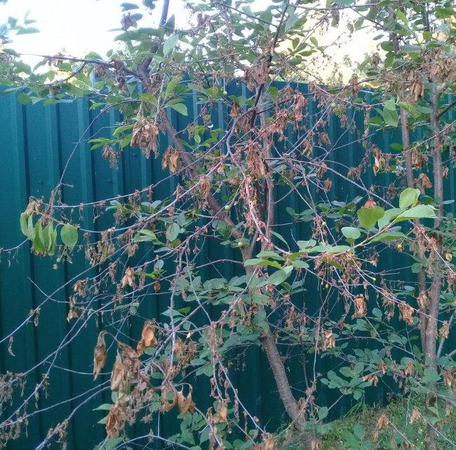 Сохнут листья на ветках вишневого дерева около металлического забора