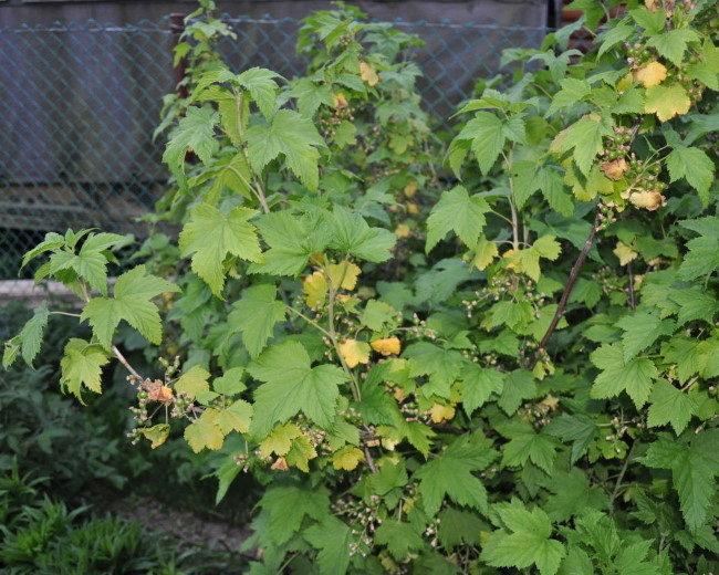 Пожелтение мелких листочков на кусте смородины в летний период