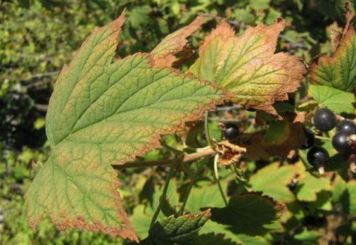 Покраснение листьев черной смородины при заражении растения антракнозом