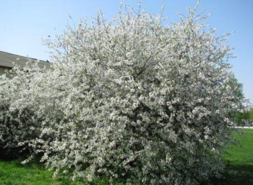 Цветущее деревце вишни Шалунья с округлой кроной