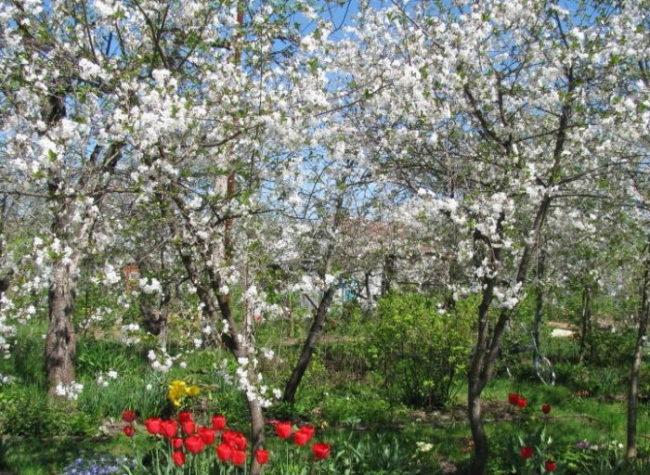 Красные тюльпаны под цветущими деревьями вишен разного сорта