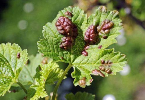 Красноватые бугристые пятна на листе смородины от галловой тли