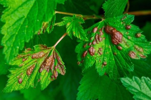 Признаки появления галловой тли на листьях красной смородины