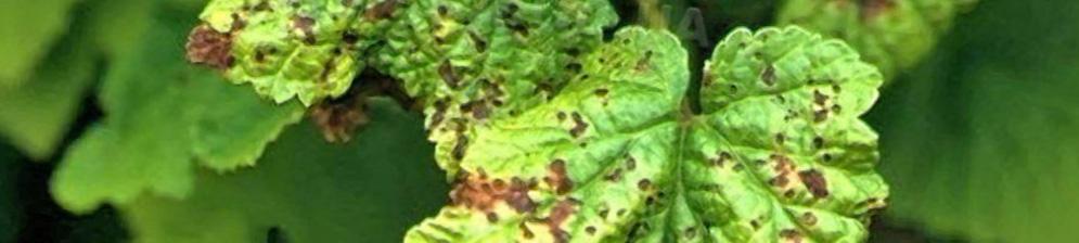 Грибок на листьях смородины вблизи