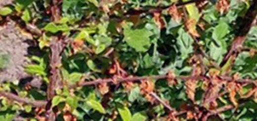 Хлопушки на войлочной вишне вблизи