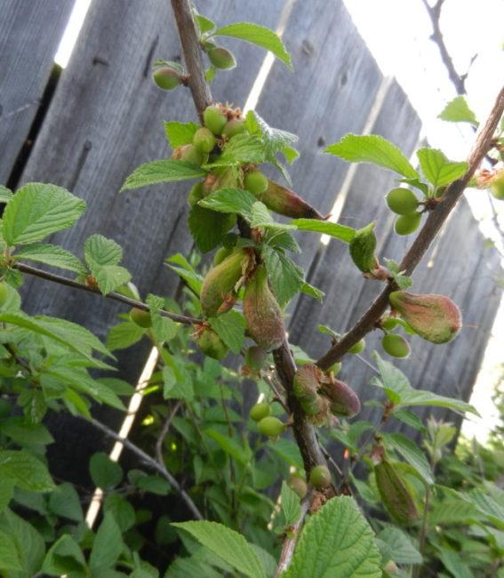 Симптомы кармашкового заболевания на ветка войлочной вишни у забора