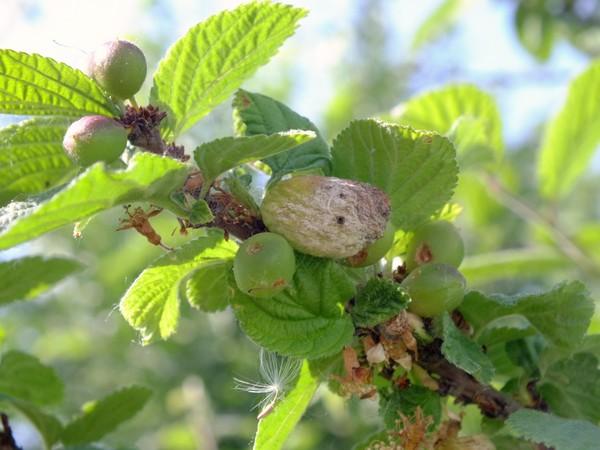 Деформированный плод на ветке войлочной вишни при кармашковой болезни