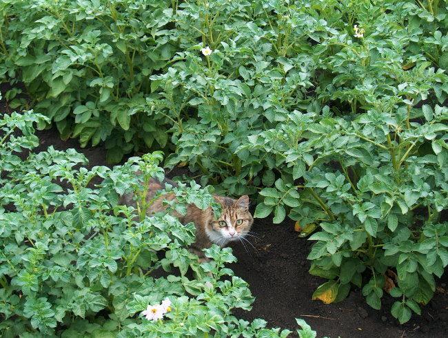 Домашняя кошка среди высоких кустов зеленой картошки