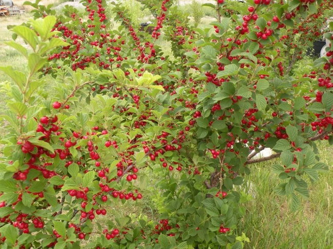 Обильное плодоношение войлочной вишни на дачном участке