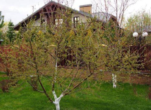 Распускание почек на кусту вишни гибридного сорта Шалунья
