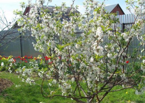 Цветение куста вишни гибридного сорта Золушка