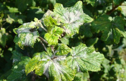 Белый налет на листьях смородины при американской мучнистой росе