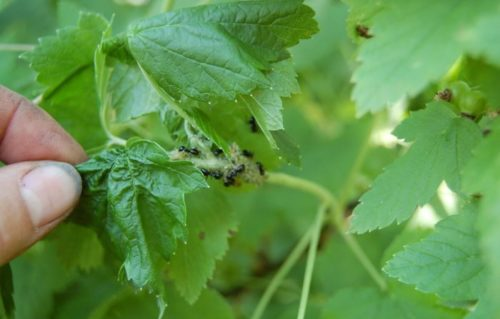 Мелкие черные муравьи на черной смородине в период плодоношения