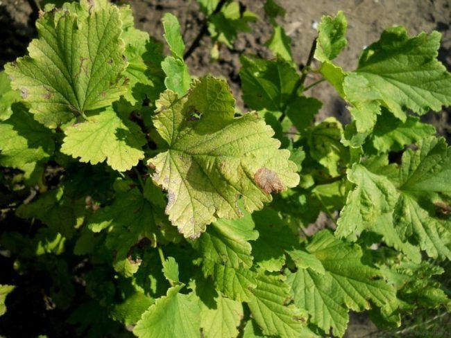 Пятна на листьях смородины при дефиците калия и магния