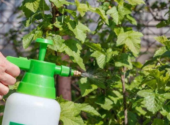 Профилактическое опрыскивание листьев и веток смородины от вредителей
