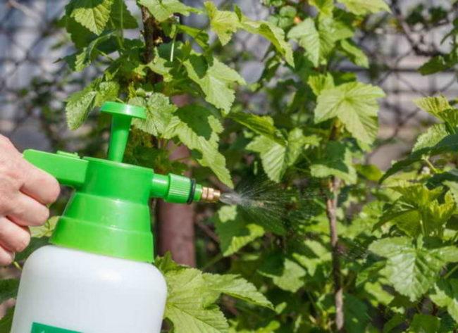Опрыскивание черной смородины содой от галловой тли в начале лета