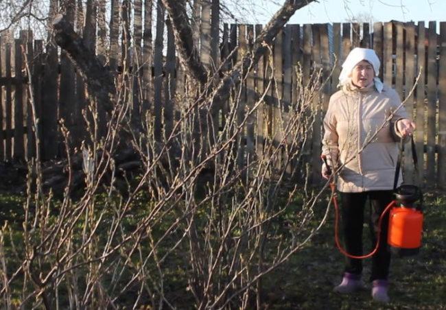 Обработка раствором медного купороса кустов черной смородины
