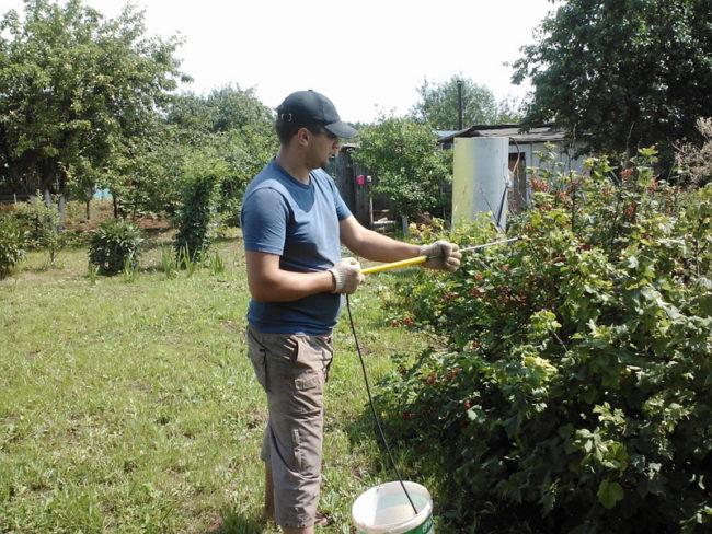 Опрыскивание куста смородины от вредителей в середине июня народными средствами