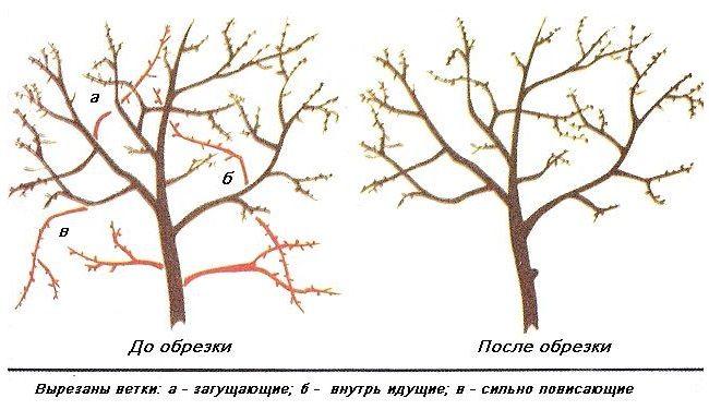 Схема обрезки вишни после сбора урожая на садовом участке