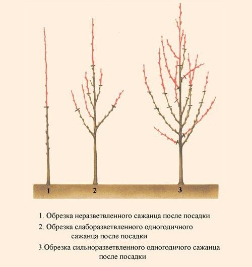 Схема первой обрезки вишневого саженца при весенней посадке