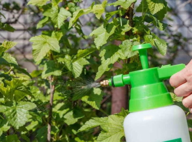 Летнее опрыскивание черной смородины от тли во время плодоношения