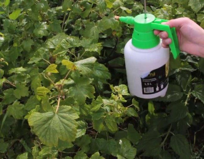 Летняя обработка куста смородины от тли во время плодоношения