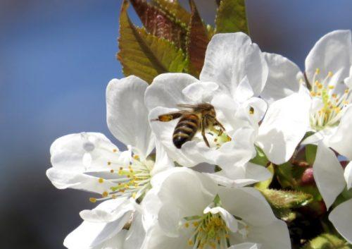 Опыление пчелой цветка самоплодной вишни сорта Золушка