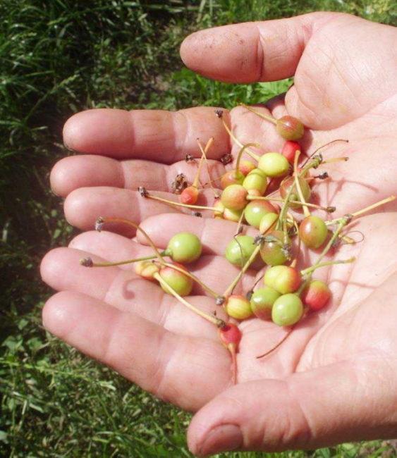 Осыпавшиеся завязи вишни на ладонях садовода-любителя