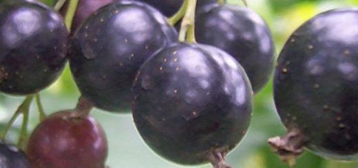 Спелые и созревающие плоды чёрной смородины