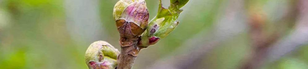 Почковый клещ вблизи на кусте смородины