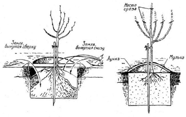 Схема весенней посадки вишневого саженца в стандартную яму